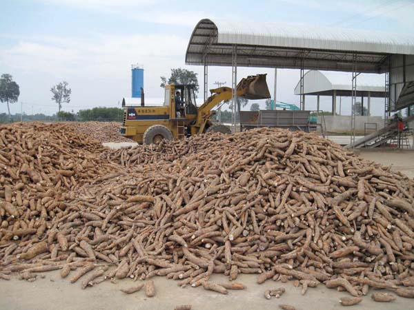 How is cassava processed ?