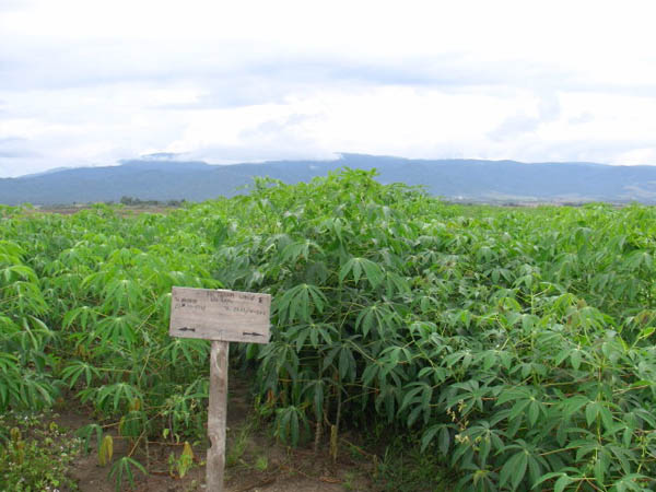 Cassava production and develop situation in Tanzania, China cooperation